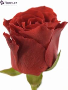 cervena-ruze-prodej-19213